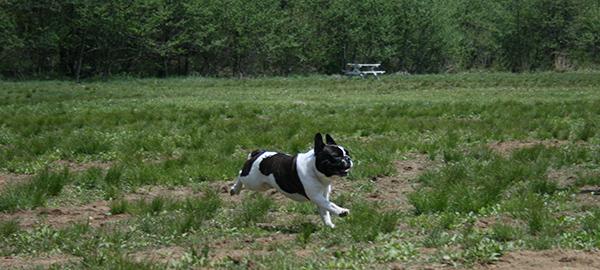 犬が楽しそうに走る姿