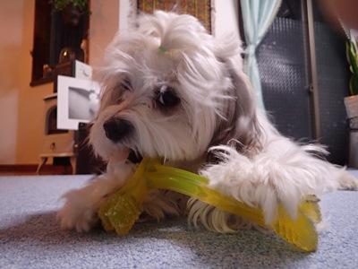 犬のおもちゃ・心落ち着かすように一心不乱にかじる棒