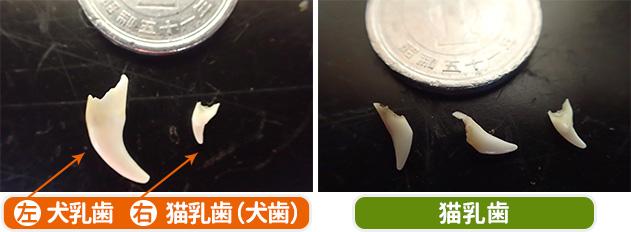 犬乳歯・猫乳歯