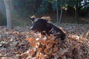 落ち葉の中で遊ぶわんこ