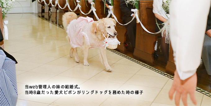 結婚式でリングドッグを務めたゴールデンレトリバーびぼん