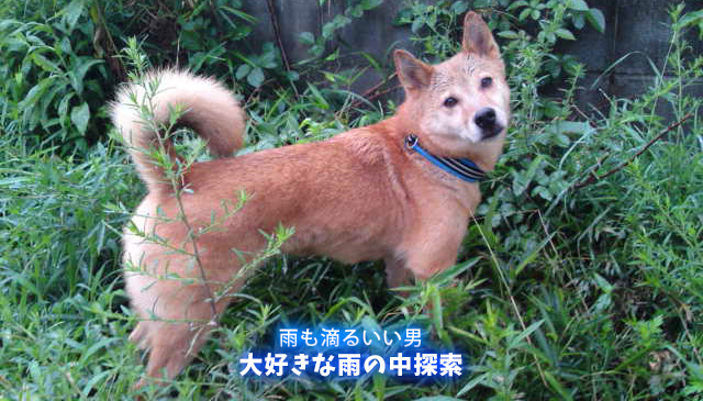 大好きな雨の中探索する犬といち