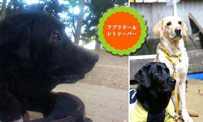 大型犬:ラブラドールレトリーバー