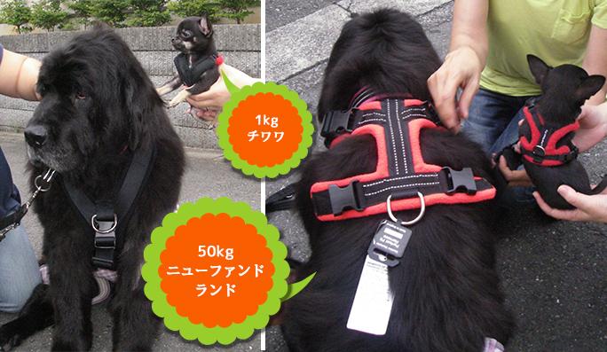 超大型犬:ニューファンランドと小型犬チワワ