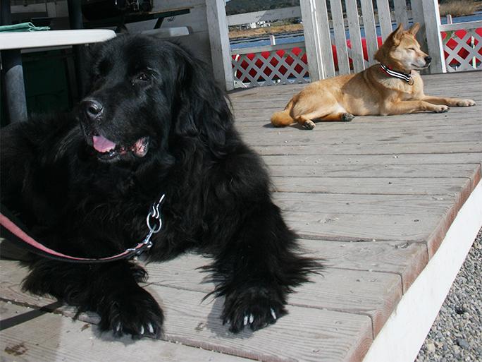 ニューファンドランドと柴犬