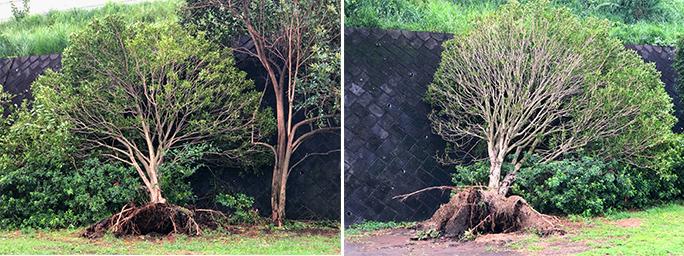 台風で倒木した木々