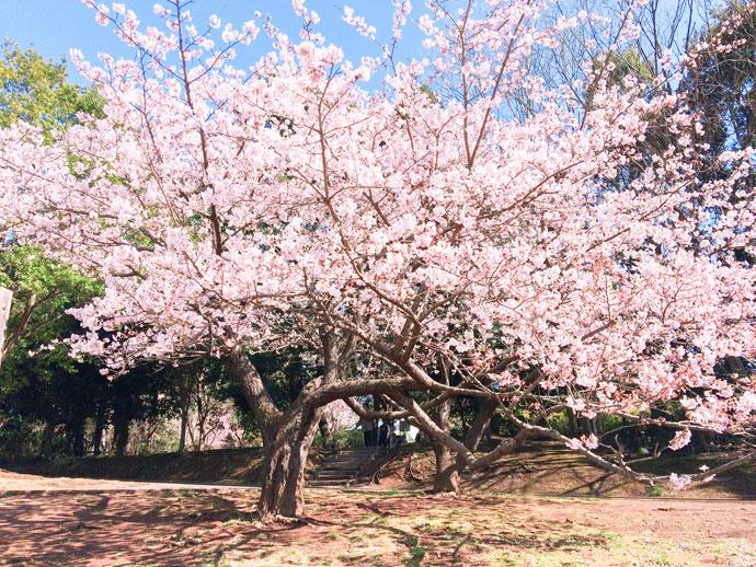 王禅寺ふるさと公園の桜